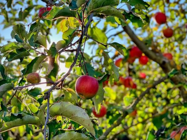 Akane-Äpfelbaum